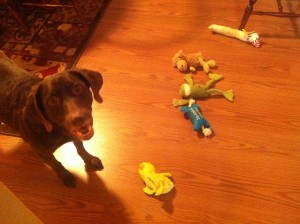 My dog Crazy Legs with an assortment of his (destructible) toys.