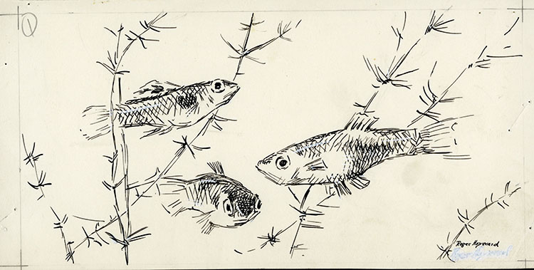 Pen-and-ink drawing of 3 fish swimming among aquatic plants