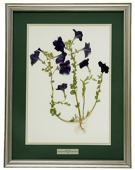 Framed dried petunia plant derived from Monsanto genetically-engineered petunias, 1983