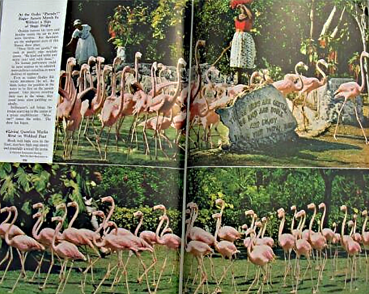 Pages from National Geographic magazine with photos of flamingos in the wild.