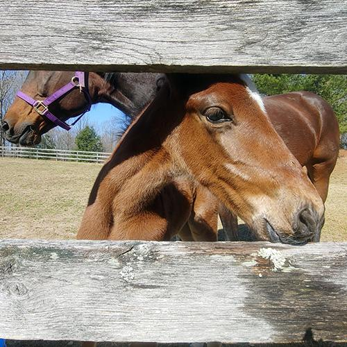 A horse looking through the slats of a fence